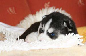 cachorro de husky durmiendo