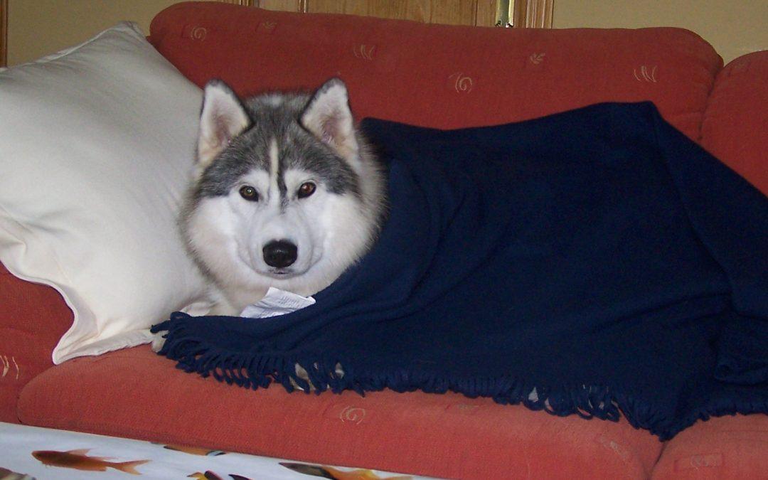 Siberian Husky en residencia canina