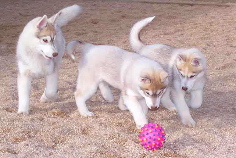 Cachorros jugando para no tener ansiedad por separación